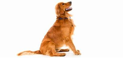 Golden Retriever Breed Rescue Breeds Purebred Dog