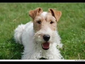 Cachorros Fox Terrier Pelo de Alambre (wire haired fox ...