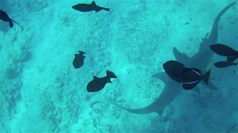 Dive Francesi Polinesia Francese Diving With Lemon And Black Tip Sharks