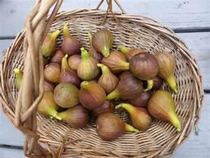 Feigenbaum Im Garten : feige im garten standort winterh rte und ernten mit genuss ~ Orissabook.com Haus und Dekorationen