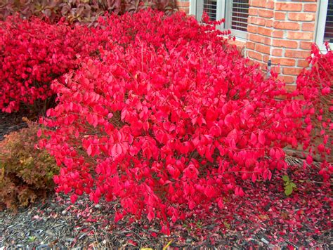 burning bush online plant guide euonymus alatus compactus compact burning bush