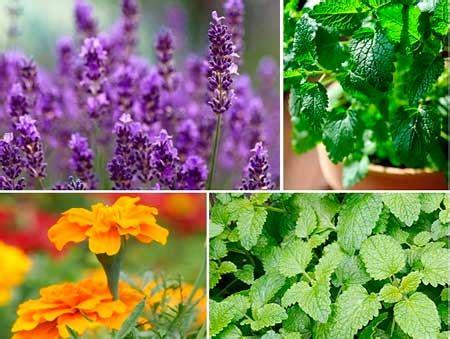 Plantes Répulsives Moustiques Plantes R 233 Pulsives 224 Moustique Liste Des Plantes Par Nos