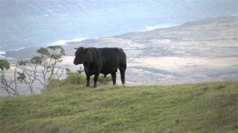 Wild Cattle Of Maui Hawaii