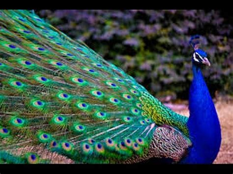 Peacock  One Of The Most Beautiful Birds Youtube