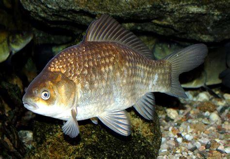 Zelta zivtiņa - Spoki