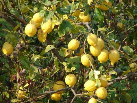 How To Make Lemon Pickle