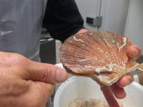 cuisiner le corail de jacques noix de jacques à la plancha sur un crémeux de