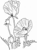 Poppy Coloring Flowers Sheets Blank Template Flower Pages Sketch sketch template