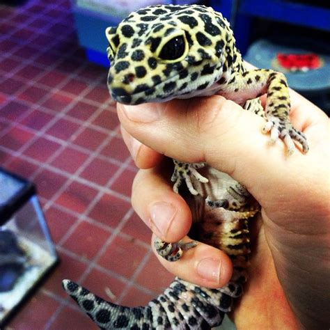 best 25 leopard geckos ideas on pinterest