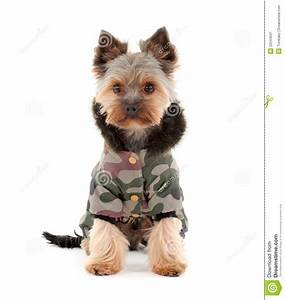 Yorkshire Terrier In Winter Clothes Stock Image - Image ...