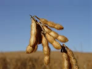 George Washington Carver Soybeans