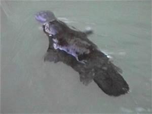 Platypus in Australia