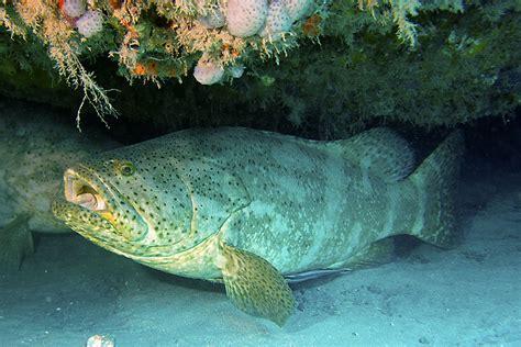 grouper goliath fsu florida researchers fishery risk opening edu university state jupiter gerald carroll coast