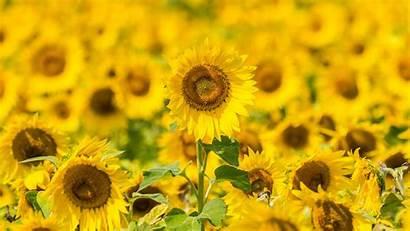 Yellow Flowers Sunflowers Field 4k Bloom Background