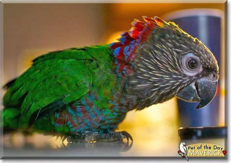 maverick hawkhead parrot october