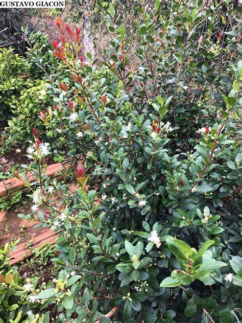 Viveiro Ciprest - Plantas Nativas e Exóticas: Cereja da ...