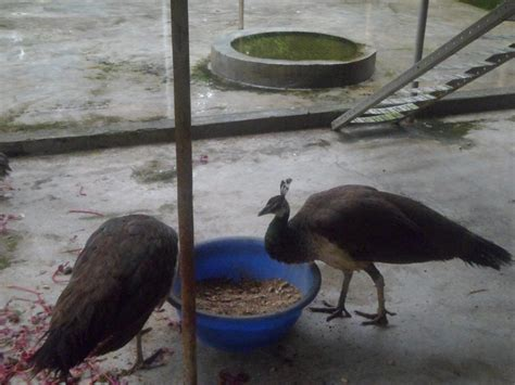peacock farming modern farming methods