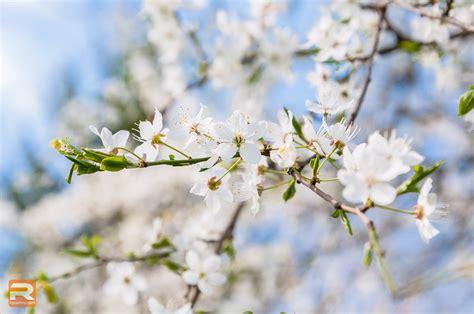 Ziedošais pavasaris