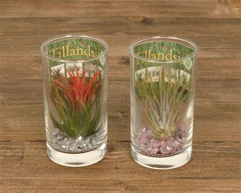 tillandsien im glas tillandsien im glas drink corsa webshop tillandsia en luchtplantjes