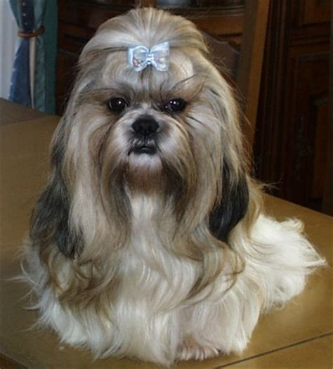 comment toiletter un shih tzu 28 images coupe pour shih tzu forum de discussion sp 233