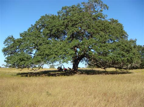 Southern Images Speaking From The Ranch Mighty Live Oak Trees