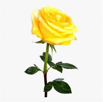 Yellow Rose Transparent Flowers Single Flower Clipart
