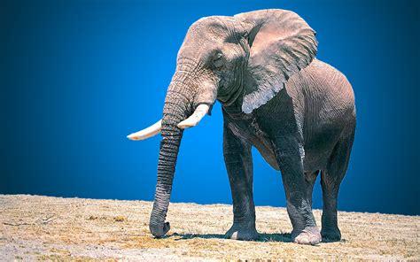 elephant animal full hd wallpaper beautiful hd wallpaper