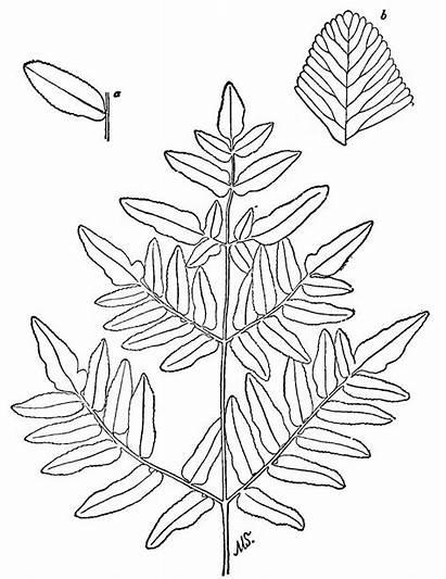 Ferns Fern 7th Ed Know Drawing Simple