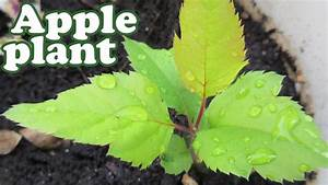 How To Grow An Apple Tree From Seeds