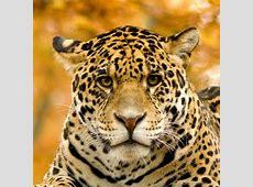 National Animal Of Brazil Jaguar 123Countriescom
