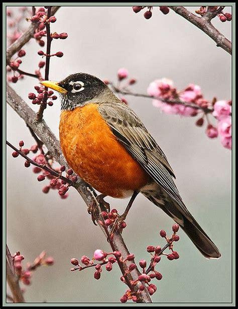 25 best ideas about robin bird on pinterest pretty