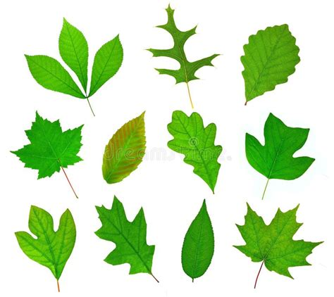 Deciduous Leaf Collection stock image. Image of america ...
