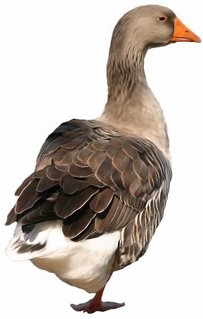 Duck Clip Clipart Birds Clipartpng 1110 Graphics