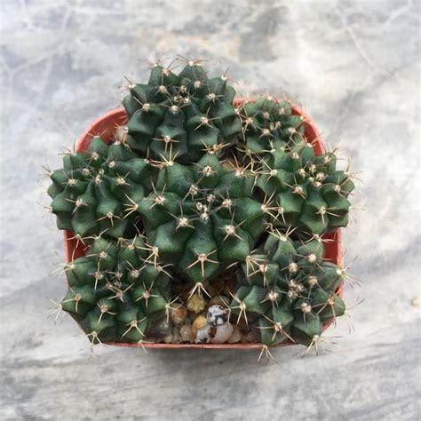 ขายต้นไม้ ยิมโนคาไลเซียม Gymnocalycium พ่อแม่ด่าง ลูกไม่ด่าง 7ต้น โดยร้าน YaYYaSuccu รหัสสินค้า ...