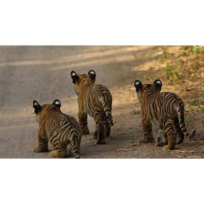 Three Tiger Cubs Sighted in Ranthambore National Park: Video