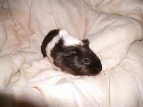 Black and White Baby Guinea Pigs