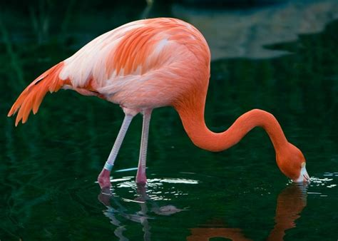 how do flamingos get their pink color for some species you really are what you eat science