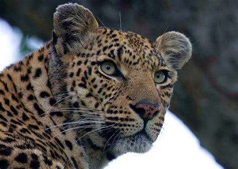 Cincin Leopard 1021 1000 images about ostrich koppies on