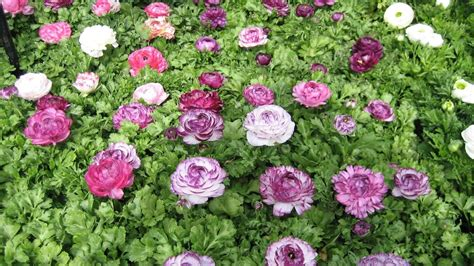 in what direction should you plant ranunculus bulbs