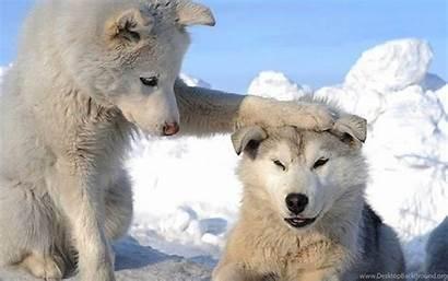 Husky Siberian Puppies Snow Wallpapers Desktop Background