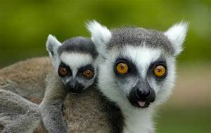 A Mother's Lo... Cute Lemur Quotes