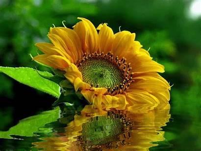 Girassol Flores Gifs Flor Imagens Google Garden