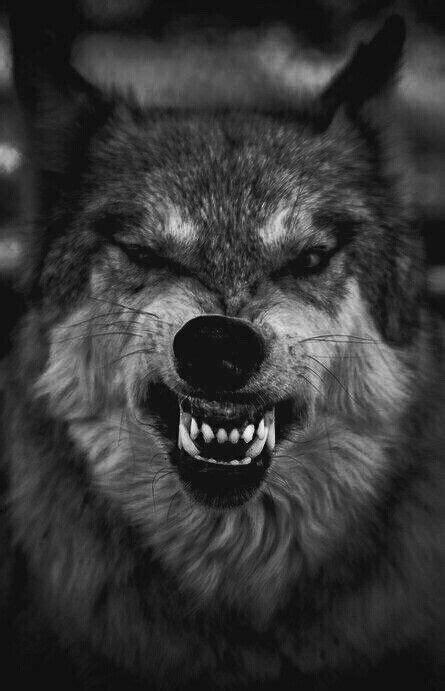 im mad citation guerrier citations autour du loups