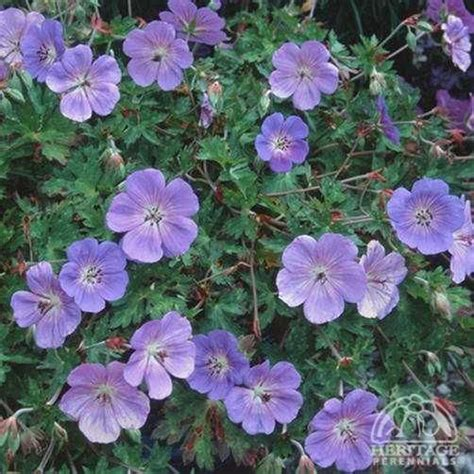 list of hardy perennial flowers 19 best images about geraniums perennial on pinterest white flowers double photo and sun