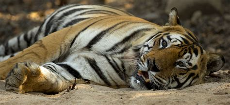 majestic tigers india  natures images