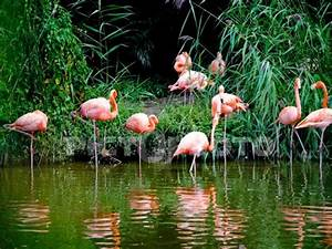 The greater flamingo is a wading bird with lovely pinkish ...