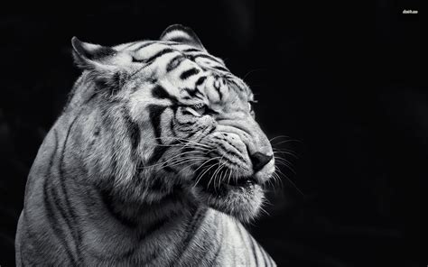 Animal Wallpaper Black And White - 50 hd and qhd beautiful black and white wallpapers