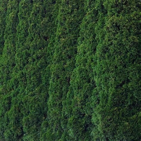 Thuja Green Giant  Fastgrowingtreescom Blog