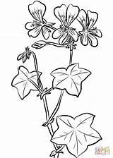 Ivy Coloring Geranium Leaf Drawing Printable Flowers Getdrawings Categories sketch template