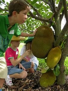 Jackfruit | Planting and care of Jackfruit in Florida ...